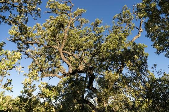 'Big Tree' 2016 prt3
