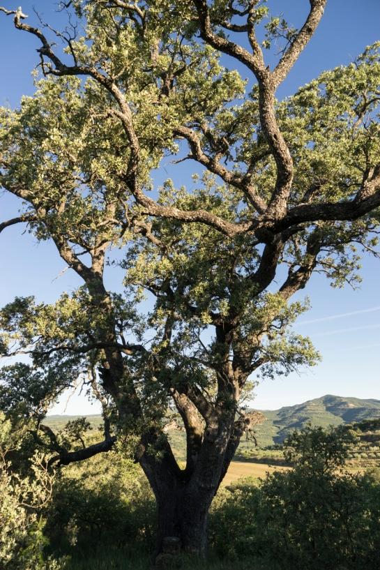 'Big Tree' 2016 prt1