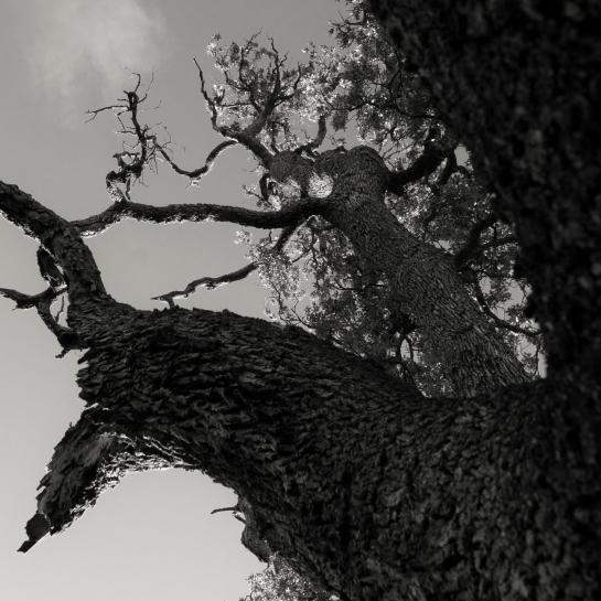 'Big Tree' 2016 prt23