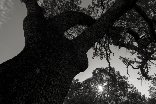 'Big Tree' 2016 prt24