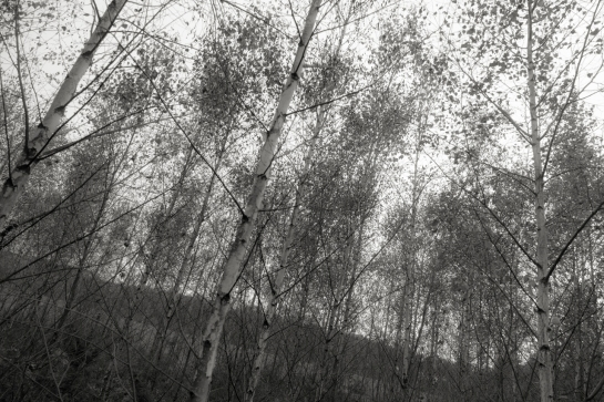 The Birches have grown prt2