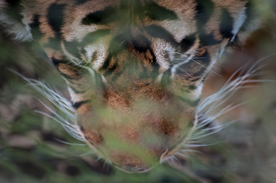 Being above a Tiger