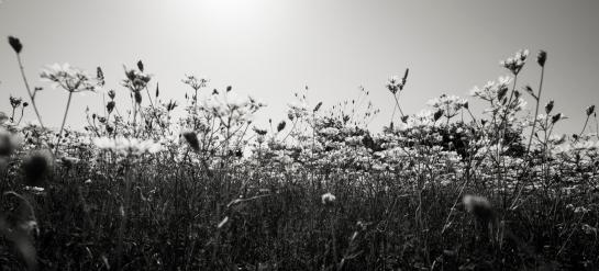 White Flowers B&W